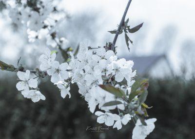 CHERRY FLOWERS-120420-1