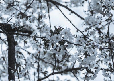 CHERRY FLOWERS-120420-10