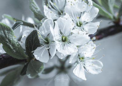 CHERRY FLOWERS-120420-11