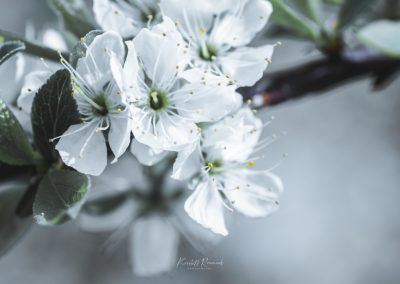 CHERRY FLOWERS-120420-12