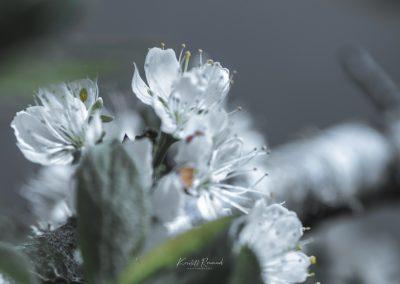 CHERRY FLOWERS-120420-13