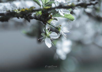 CHERRY FLOWERS-120420-14