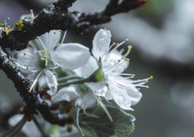 CHERRY FLOWERS-120420-15