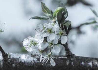 CHERRY FLOWERS-120420-16