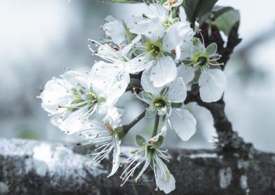 CHERRY FLOWERS-120420-17