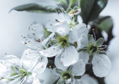 CHERRY FLOWERS-120420-18