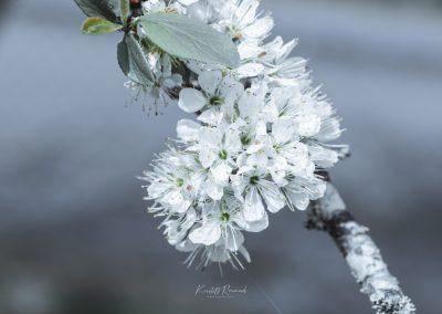 CHERRY FLOWERS-120420-19