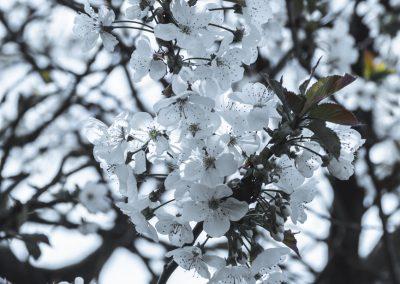 CHERRY FLOWERS-120420-2