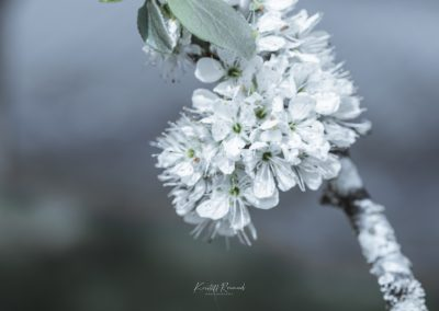 CHERRY FLOWERS-120420-20
