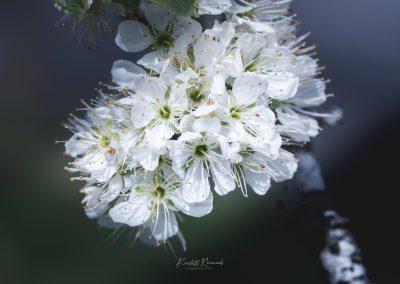CHERRY FLOWERS-120420-22