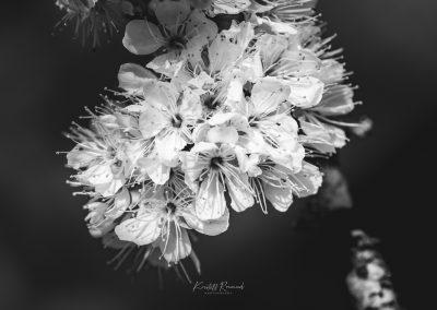 CHERRY FLOWERS-120420-23