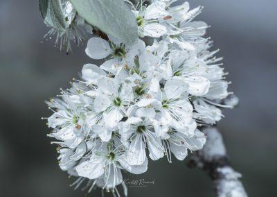 CHERRY FLOWERS-120420-24