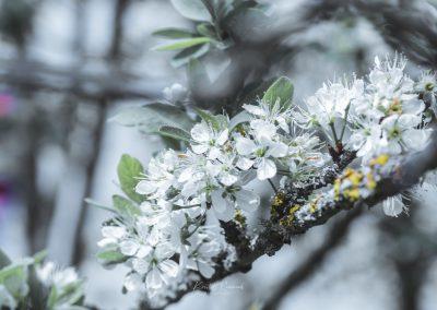 CHERRY FLOWERS-120420-25