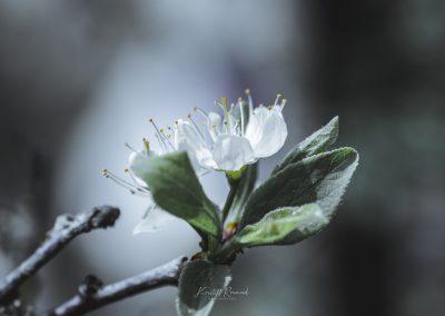 CHERRY FLOWERS-120420-27