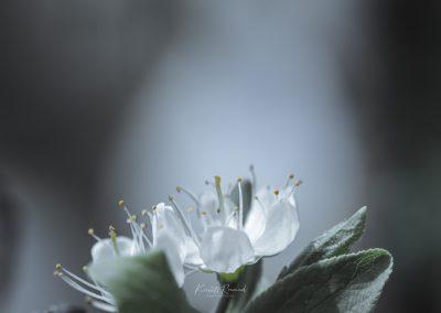 CHERRY FLOWERS-120420-28