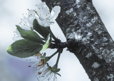 CHERRY FLOWERS-120420-29