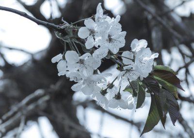 CHERRY FLOWERS-120420-3