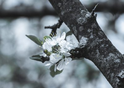 CHERRY FLOWERS-120420-30