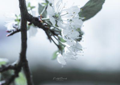 CHERRY FLOWERS-120420-31