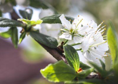 CHERRY FLOWERS-120420-32