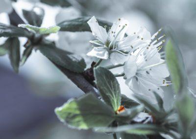 CHERRY FLOWERS-120420-33