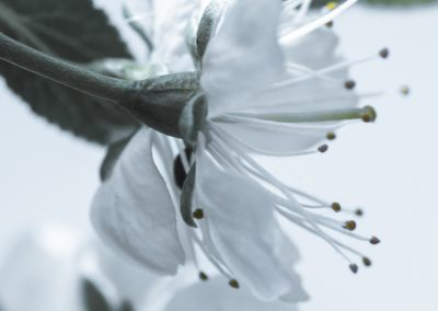 CHERRY FLOWERS-120420-35