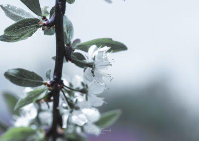 CHERRY FLOWERS-120420-36