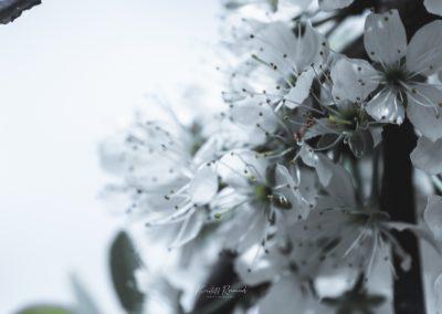 CHERRY FLOWERS-120420-39