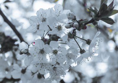 CHERRY FLOWERS-120420-4