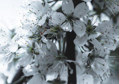 CHERRY FLOWERS-120420-40