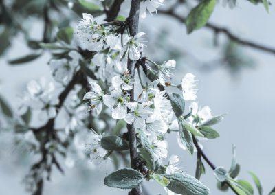 CHERRY FLOWERS-120420-41
