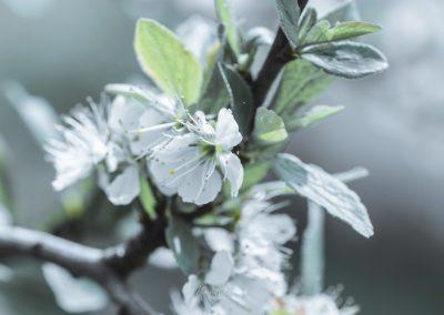 CHERRY FLOWERS-120420-42