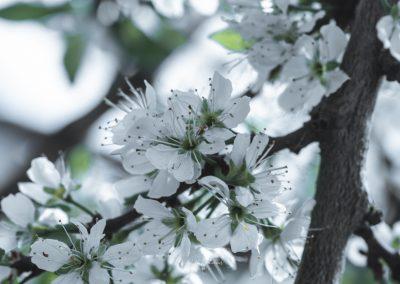CHERRY FLOWERS-120420-43