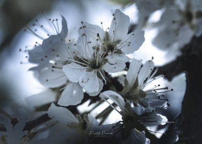 CHERRY FLOWERS-120420-44