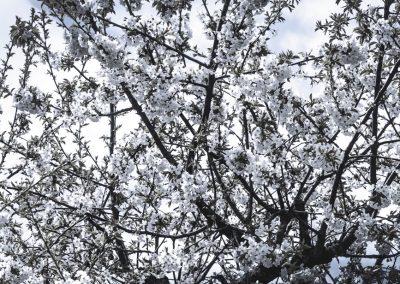 CHERRY FLOWERS-120420-45