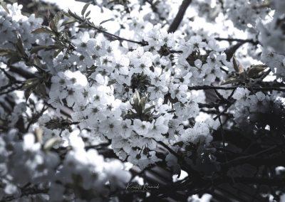 CHERRY FLOWERS-120420-5