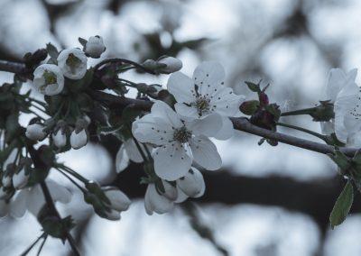 CHERRY FLOWERS-120420-6