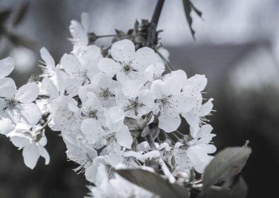 CHERRY FLOWERS-120420-7