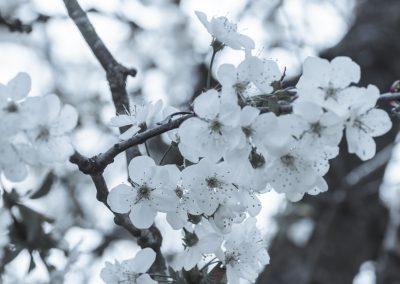 CHERRY FLOWERS-120420-8