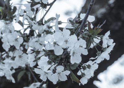 CHERRY FLOWERS-120420-9