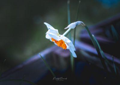 Narcissus-110420-10