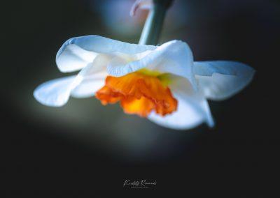 Narcissus-110420-11