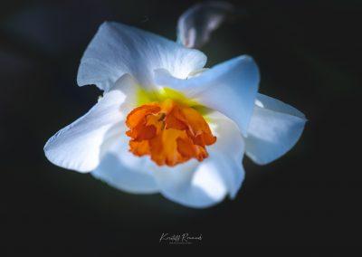 Narcissus-110420-12