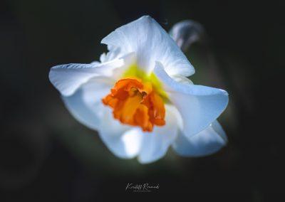 Narcissus-110420-13