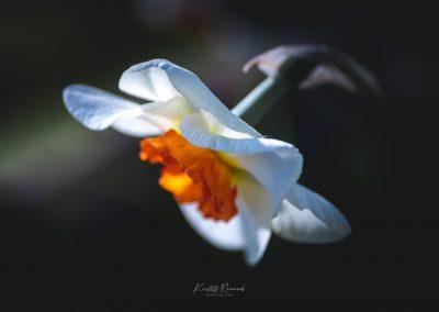 Narcissus-110420-14