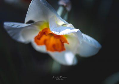Narcissus-110420-16