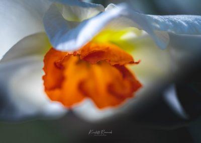 Narcissus-110420-17