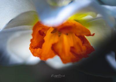 Narcissus-110420-18