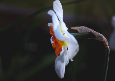 Narcissus-110420-2