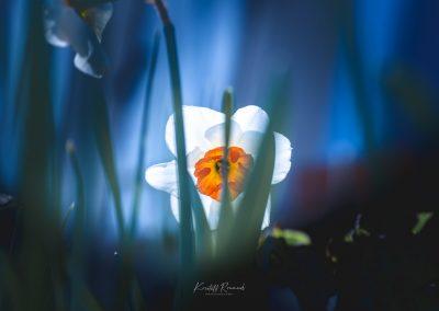 Narcissus-110420-20